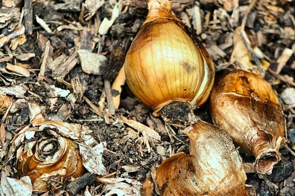 Onions and prunes (bulbs and corms!)
